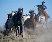 Cowboy Rounding up Wild Horses ca. 2002 Red Desert, Wyoming, USA