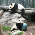 Pandas at San Diego Zoo