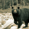 emples bear