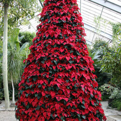 poinsettia tree southernpixel