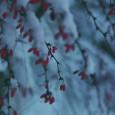 snow pink sherbet