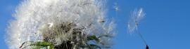 dandelion aussiegal