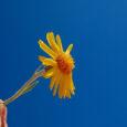 flower armando maynez