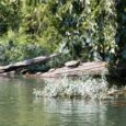 turtles on a bridge log