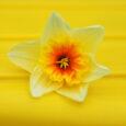 daffodil pink sherbet