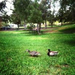 mr and mrs mallard