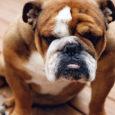 bulldog sabian jaggy